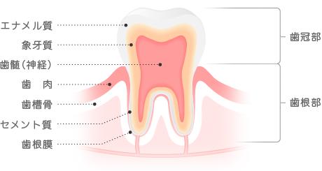 歯の構造 エナメル質、象牙質、歯髄(神経)、歯肉、歯槽骨、セメント質、歯根膜、歯冠部、歯根部